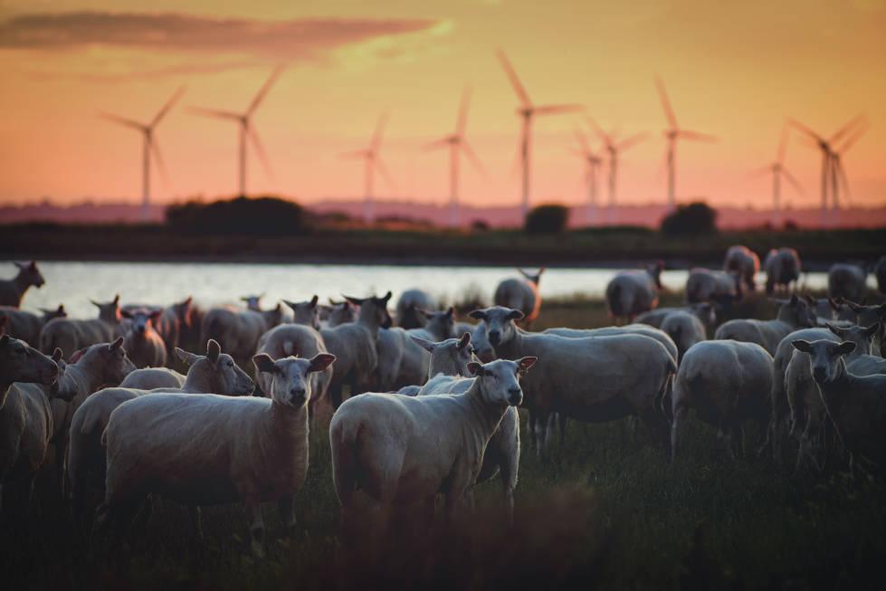 Schafe vor Windkraftanlagen auf Weide